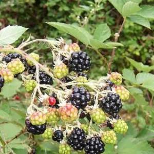 Blackberry_fruits