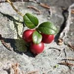 Lingon - skogens röda hälsokälla